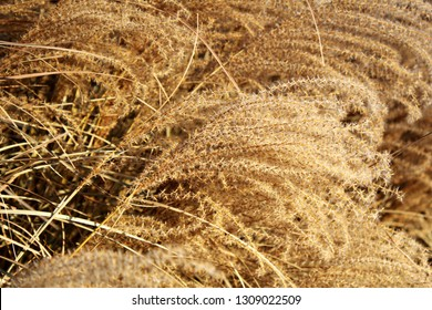 Golden dry miscanthus in the sunlight. Beautiful yellow miscanthus straws. Scurvy grass in autumn. Silk grass background.