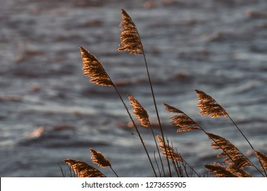 Golden dry reed flowers with water background