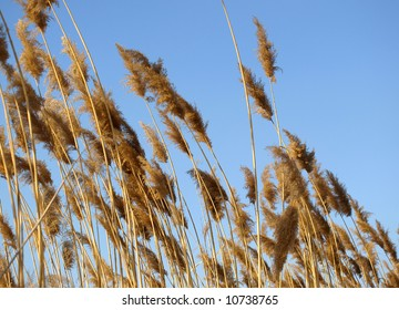 Golden dry rush on a background of the blue sky