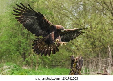 Golden eagle about to land. A magnificent golden eagle is seen as it prepares to land on a tree stump