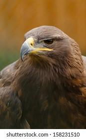 "golden eagle ""Aquila chrysaetos"""