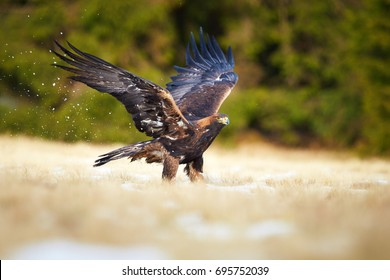 Golden Eagle, Aquila chrysaetos, big bird of prey in winter, standing on snowy meadow with outstretched wings against dark green spruce forest background. Low angle photo. Close up eagle in winter.
