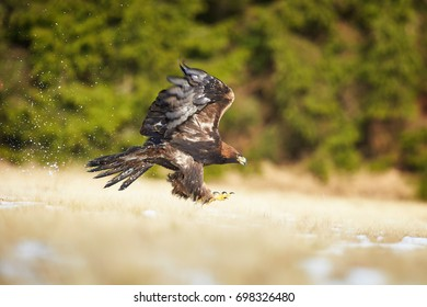Golden Eagle, Aquila chrysaetos, big bird of prey in winter, lands on snowy meadow with outstretched wings against dark green spruce forest background. Low angle photo. Close up eagle in winter.