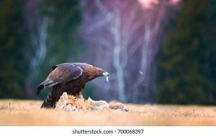 Golden Eagle, Aquila chrysaetos, big bird of prey in winter, feeding on red fox  against colorful autumn birch forest in background, illuminated by sunset. Close up eagle in winter. Europe.