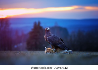 Golden Eagle, Aquila chrysaetos, big bird of prey, feeds on prey on autumn meadow against colorful evening sky in background. The eagle caught the fox. Close up eagle in autumn landscape,  Europe.