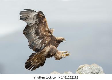 Golden eagle (Aquila chrysaetos) during the landing. Wildlife scene from Bulgaria