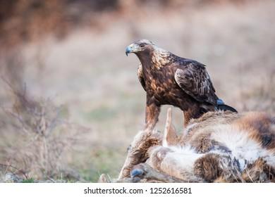 Golden Eagle (Aquila chrysaetos) feeding on a dead animal .  Wildlife scenery.