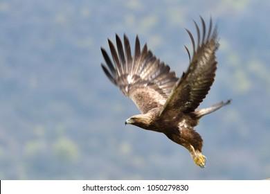 Golden Eagle (Aquila chrysaetos) in Flight, in Eastern Rhodopes Mountains