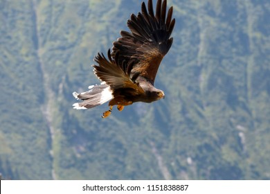Golden eagle (Aquila chrysaetos) in flight