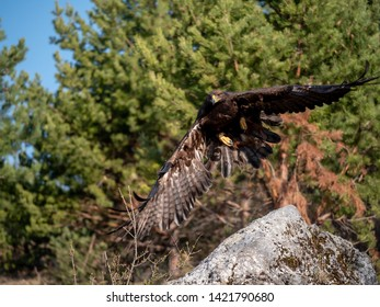 Golden eagle (Aquila chrysaetos) in flyight. Golden eagle portrait. Golden eagle sitting flying. Golden eagle landing on rock.
