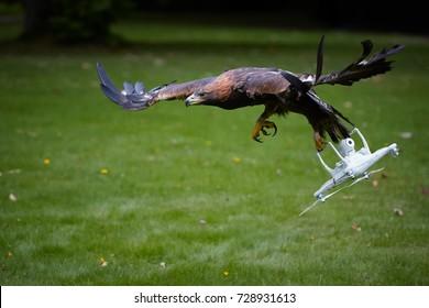 Zlatý orel, Aquila chrysaetos, létání s bílou čtyřkolkou helikoptérou. Drone lovec, dravý pták s quad helikoptérou v drápách.Copter chytil orel. Výcvik sokolnictví proti dronům. Ochrana letiště.