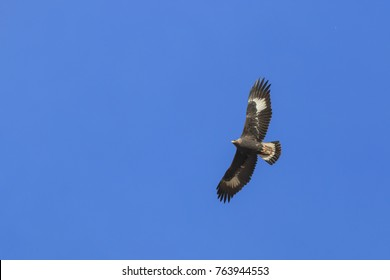 Golden Eagle (Aquila chrysaetos) flying over a mountain cliff in SiChuan, China