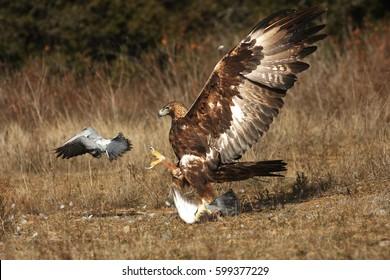The golden eagle (Aquila chrysaetos) hunting pigeons