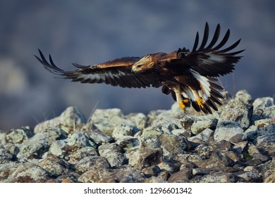Golden Eagle (Aquila chrysaetos), with large wingspan. Wild animal. Action wildlife scene from Rhodope.