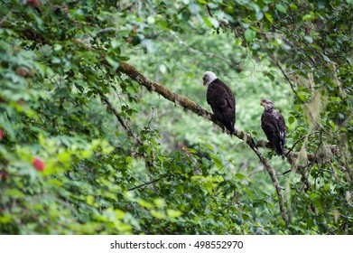 Golden Eagle (Aquila chrysaetos) male and female sit on a branch in  Mora Beach, Washington state, USA -serial picture 2 of 4