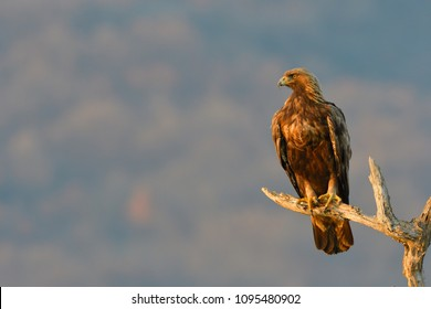 Golden Eagle (Aquila chrysaetos) on a Branch in winter