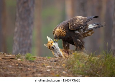 Golden eagle (Aquila chrysaetos) is one of the best-known birds of prey in the Northern Hemisphere. It is the most widely distributed species of eagle.