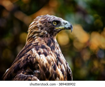 Golden Eagle (Aquila chrysaetos), one of the best known birds of prey in the Northern Hemisphere