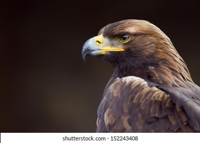 golden eagle (Aquila chrysaetos) orel skalni