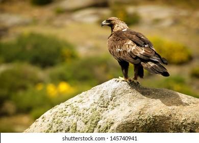 Golden Eagle (Aquila chrysaetos) perched on rock
