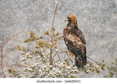 Golden eagle (Aquila chrysaetos) perched on conifer tree during heavy snowfall