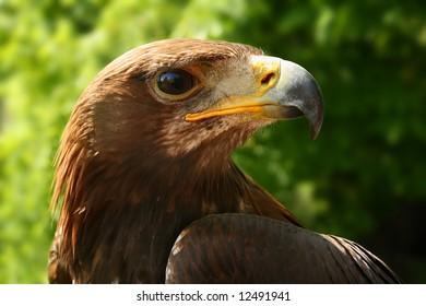 Golden eagle (Aquila chrysaetos), portrait