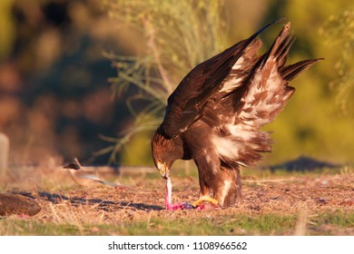 Golden Eagle, (Aquila chrysaetos), pulling at a piece of prey on the ground, Sierra Morena, Andalucia, Spain.