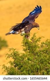 Golden Eagle, Aquila chrysaetos, Águila Real, Castilla y León, Spain, Europe