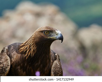 Golden eagle (Aquila chrysaetos), Sierra de Guadarrama, Madrid, Spain.