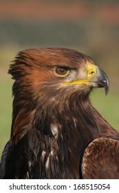 Golden eagle, Aquila chrysaetos, single bird head shot