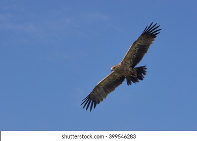Golden Eagle (Aquila chrysaetos) soaring over the Serengeti