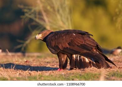 Golden Eagle, (Aquila chrysaetos), standing on the ground, Sierra Morena, Andalucia, Spain.