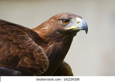 golden eagle attentive