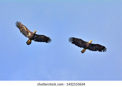 A golden eagle and a bald eagle flying together side by side in Ketchikan, Alaska. (June 2019)