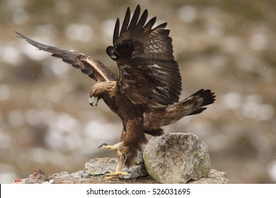 Golden eagle - birds of Prey