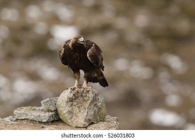 Golden eagle - birds of Prey
