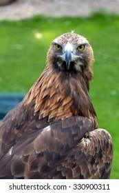 Golden eagle at a birds of prey centre
