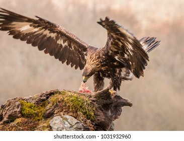 The golden eagle, the buzzard, the marsh harrier, etc., are some of great birds of prey, displayed in different places of spain ...