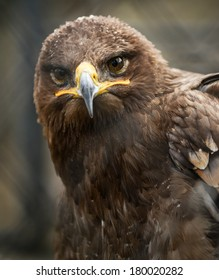 Golden eagle in cage portrait