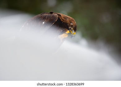 Golden eagle cleaning his beak using a claw