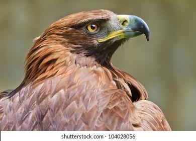 golden eagle close up