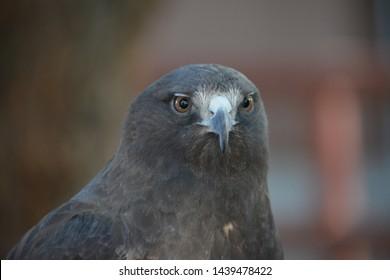 Golden Eagle close up head shot