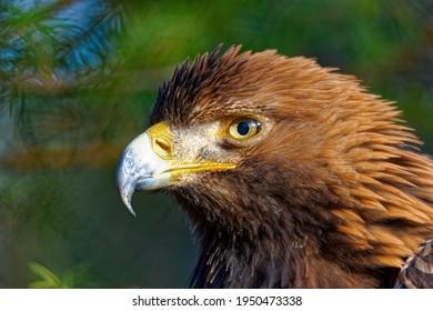 golden-eagle-closeup-aquila-chrysaetos-2