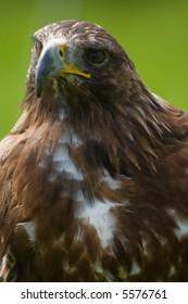 golden eagle close-up Aquila chrysaetos