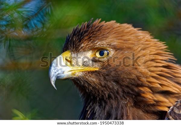 golden-eagle-closeup-aquila-chrysaetos-6