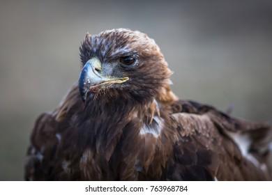 Golden Eagle closeup, Mongolia.