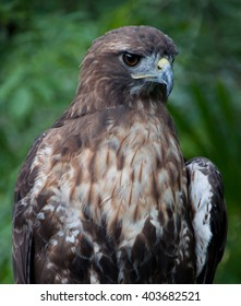 Golden eagle closeup, while perched on a tree