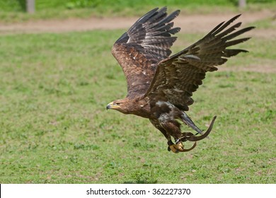 A Golden Eagle during a falconry session