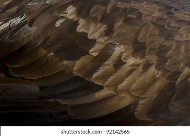 Golden Eagle Feathers