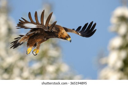Pictures of golden eagles in flight